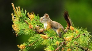 Squirrel on Fir Tree