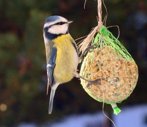 Blue_tit_on_feeder